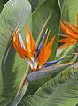 Ave del paraíso (Strelitzia reginae), Conservatorio botánico, Fort Wayne, Indiana, Estados Unidos, 2012-11-12, DD 01.jpg