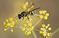 Avispa papelera (Polistes gallicus) (3925434580).jpg