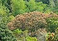 Búcaro (Erythrina fusca) - Flickr - Alejandro Bayer.jpg