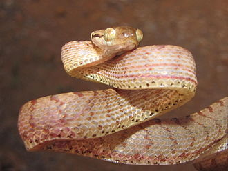 Boiga ceylonensis - Note the interstices on the flanks