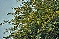 Babool (Acacia nilotica) flowers at Hodal W IMG 1248.jpg