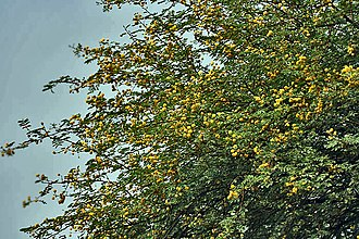 Vachellia nilotica - Spring blossoms at Hodal in Faridabad District of Haryana, India