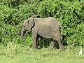 Baby Elephant in Murchison Falls National Park.JPG
