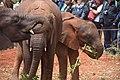Baby Elephants 5 (172914249).jpeg