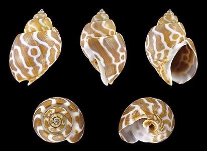 Shell of a Spiral Babylon, Babylonia spirata