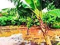 BananaPlant.jpg