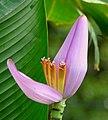 Banano ornamental (Musa ornata) (14673976120).jpg