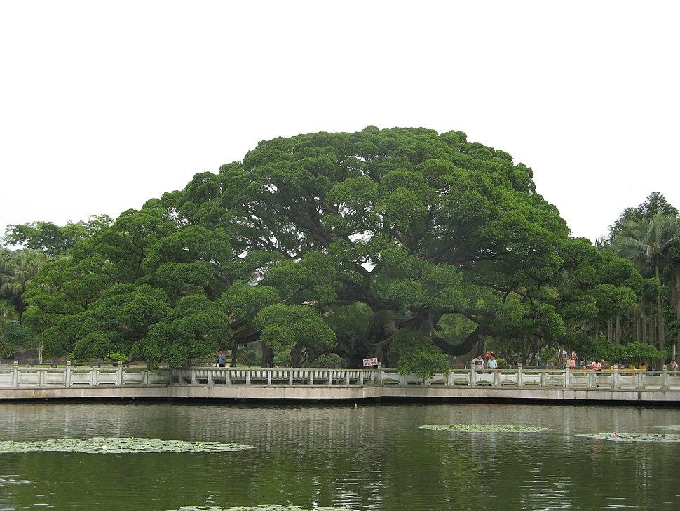 Banyan King, Fuzhou
