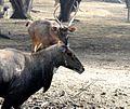 Barasingha - by NL.jpg