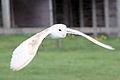Barn Owl - Woburn Safari Park (4551533273).jpg