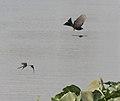 Barn Swallow (Hirundo rustica) with Black Drongo in Kolkata W IMG 3416.jpg