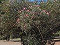 Batalha.Nerium oleander01.jpg