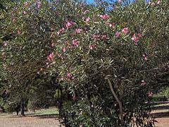 nerium oleander kann bis etwa 3 m hoch werden. Black Bedroom Furniture Sets. Home Design Ideas