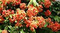 Bauhinia kockiana flowers.jpg