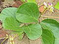 Bay Bean (Canavalia rosea) leaves (15832857751).jpg