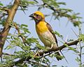 Baya weaver male on a safe perch - Flickr - Lip Kee.jpg