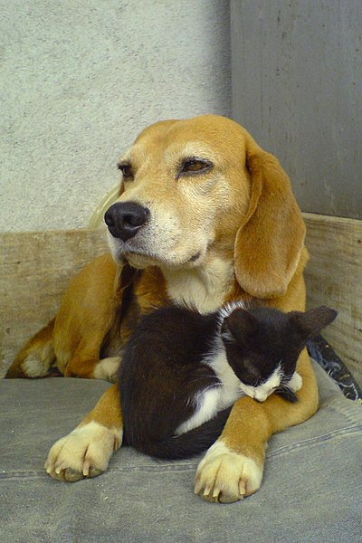 Файл:Beagle and sleeping black and white kitty-01.jpg