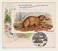 Beaver, from Quadrupeds series (N41) for Allen & Ginter Cigarettes MET DP839194.jpg