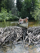 beaver dam wikipedia Beaver Dam Middle School canoeists try unsuccessfully to run a beaver dam in algonquin park the dam is about 1 m (3 ft 3 in) high