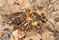 Bee - Andrena species, Mason Neck State Park, Mason Neck, Virginia.jpg