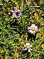 Bee on alpine aster. (b036adecb3894d34a93a29a3bb980d6b).JPG