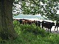Beef on the move - geograph.org.uk - 508811.jpg