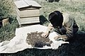 Beekeeping in Britain during the Second World War TR1951.jpg
