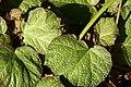 Begonia Boomer 4zz.jpg