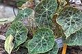 Begonia goegoensis 002 GotBot 2016.jpg