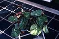 Begonia vellosiana WPC.jpg