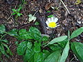 Bellis rotundifolia 2.JPG