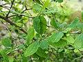 Berberis vulgaris Berberys zwyczajny 2020-07-02 01.jpg