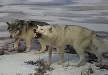 Two models of Beringian wolves created by paleo-artists working at the Yukon Beringia Interpretive Centre
