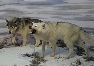 Beringian wolf extinct type of wolf that lived during the Ice Age in Alaska, Yukon, and northern Wyoming