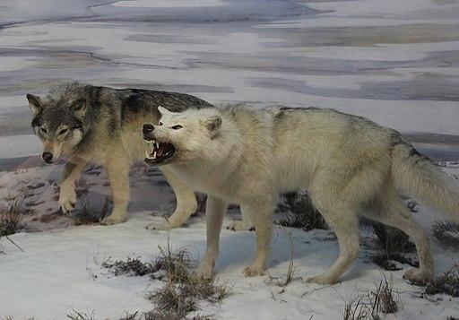 Beringian wolves diorama