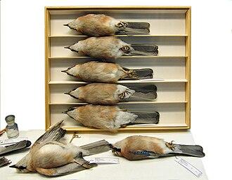 Zoological specimen - Study skins of  Garrulus glandarius in Museum für Naturkunde, Berlin
