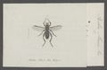Bibio - Print - Iconographia Zoologica - Special Collections University of Amsterdam - UBAINV0274 038 05 0009.tif