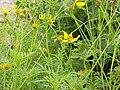 Bidens ferulifolia3.jpg