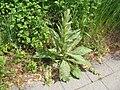 Big plant - panoramio.jpg