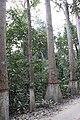 Big plant diversity of Lawachara National Park.jpg