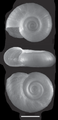 Biomphalaria tenagophila shell.png