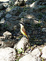 Bird at Uxmal (8263829597).jpg