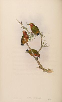 BirdsAsiaJohnGoVIGoul 0172.jpg