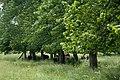 Bison Under the Trees (3681469042).jpg