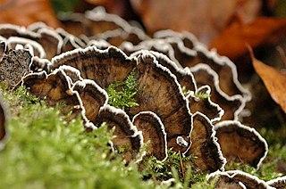 <i>Bjerkandera</i> genus of fungi