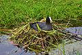 Blässhuhn im Nest 02.jpg