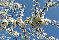 Blütenzweig - panoramio.jpg