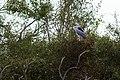 Black-crowned night heron (46817979291).jpg