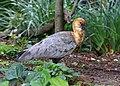 Black-faced ibis J1.jpg