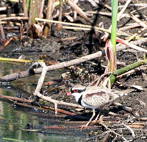 Narran Wetlands - The wetlands are important for black-fronted dotterels